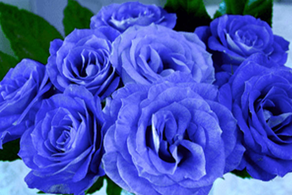 kuss-essentials-Bluerose
