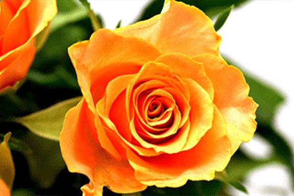 kuss-essentials-Orangerose